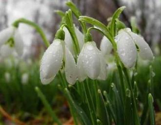 Moldsilva a interzis strângerea plantelor vernale rare