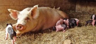К Молдове подбирается африканская свиная чума